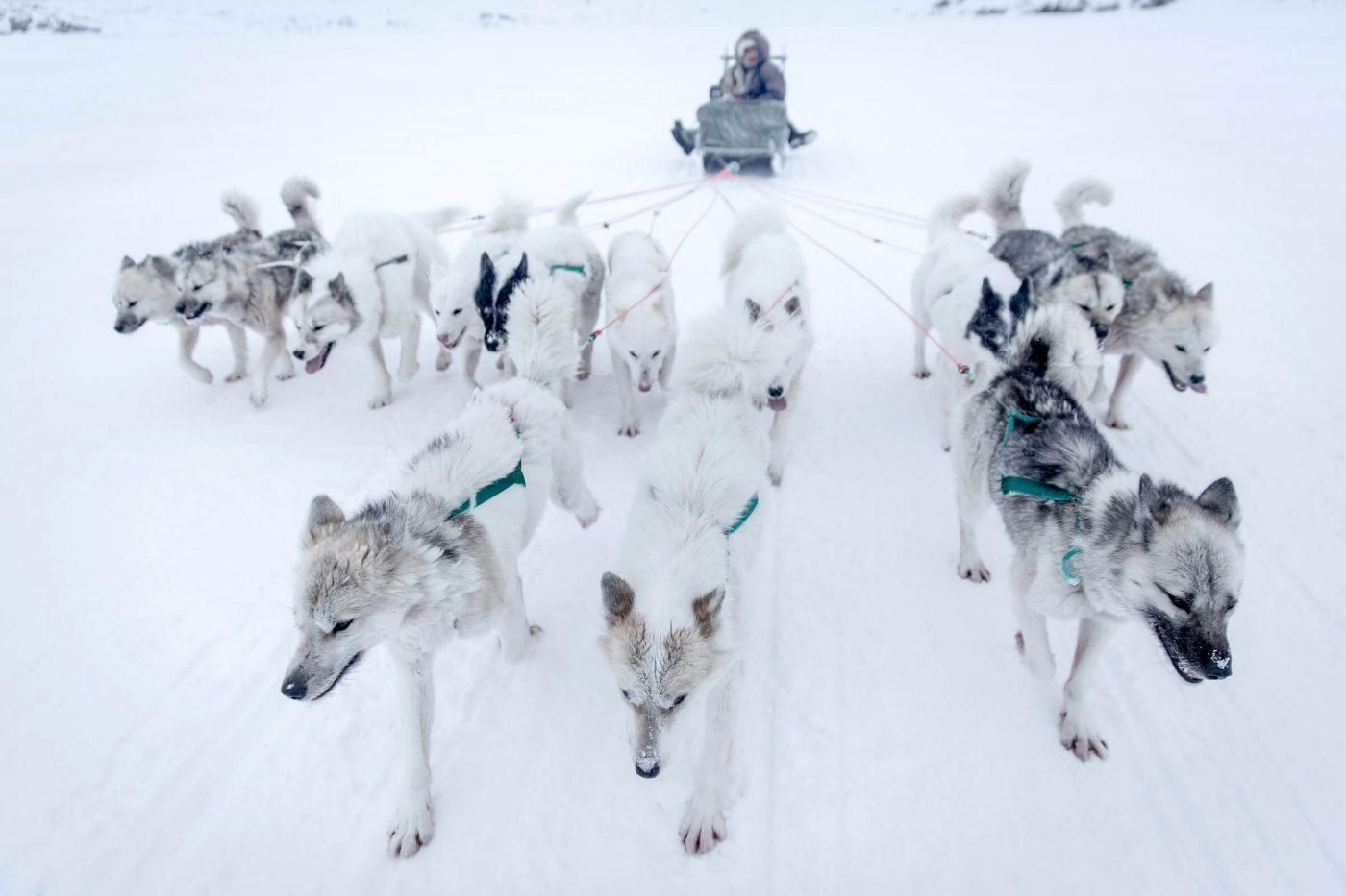 Sled dogs on the sea ice near the coast around Ilulissat in Greenland