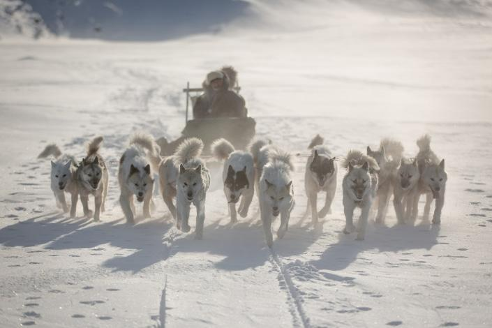 Dogs on a dog sledding trip near Ilulissat in Greenland fanning out in typical west Greenlandic fashion. Photo by Mads Pihl - Visit Greenland