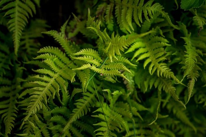 Ferns in the forest in Narsarsuaq. Photo by Mads Pihl.