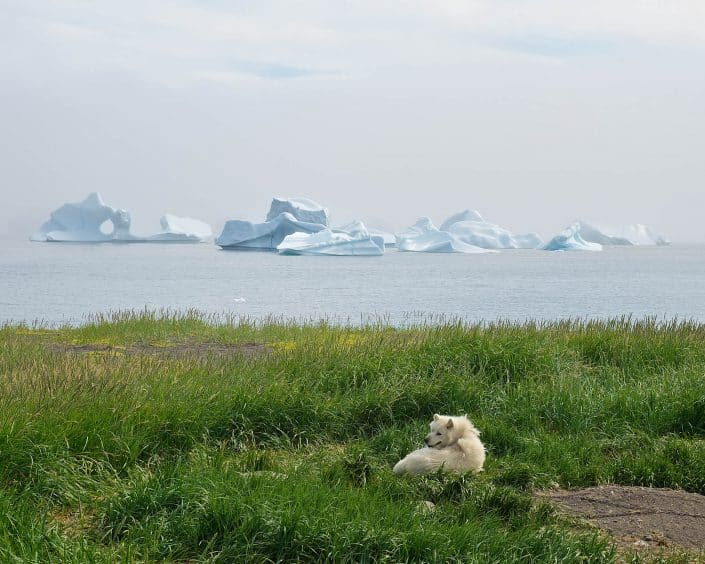 A sled dog in grass, icebergs in the background. By David Buchmann