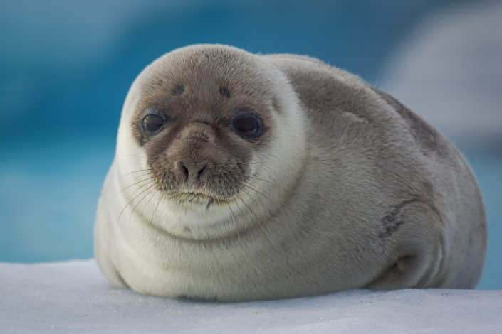 Hooded seal cute pup. Photo by Aqqa Rosing Asvid.