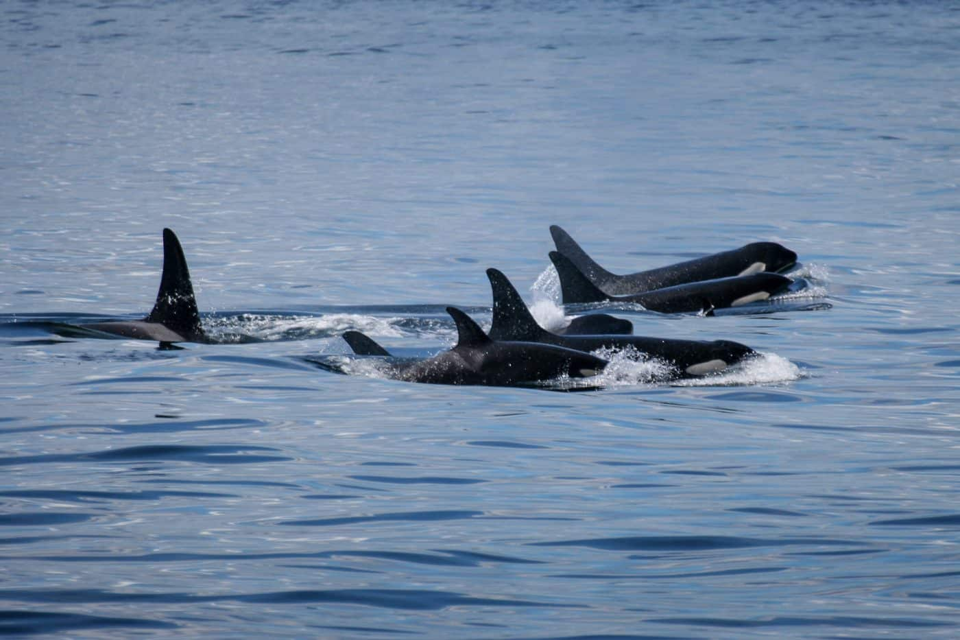 A pod of killer whales in Greenland. Photo by Aqqa Rosing Asvid.