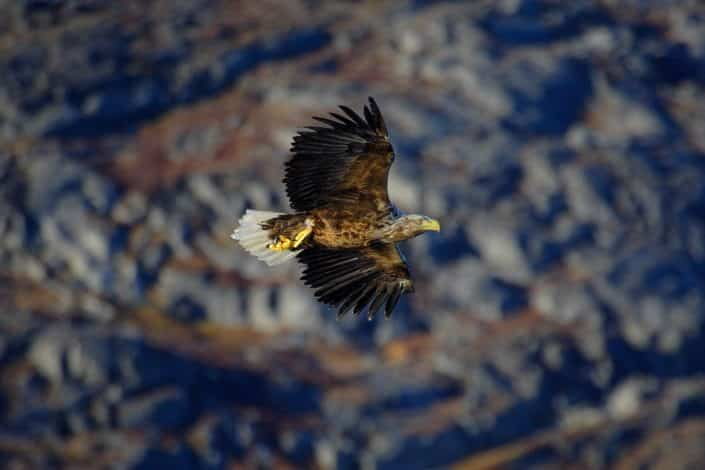 Sea eagle flying low. Photo by Aqqa Rosing Asvid.