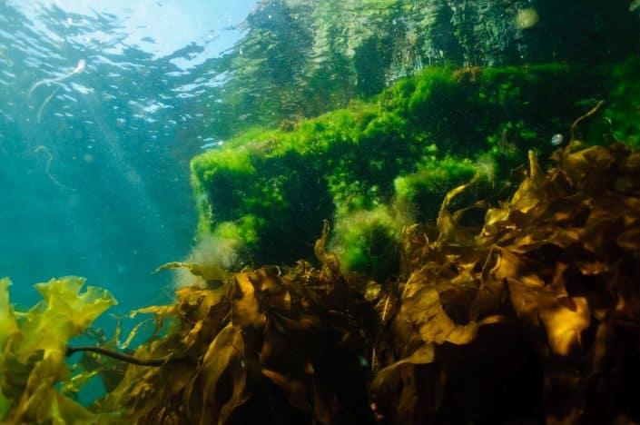 Underwater flora of Greenland. Photo by Morten Beier.