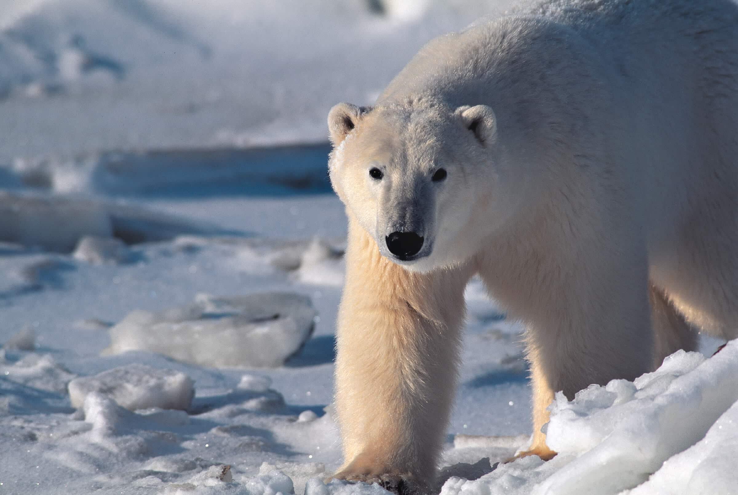 Polar bear walks on ice. Photo by Staffan Widstrand.