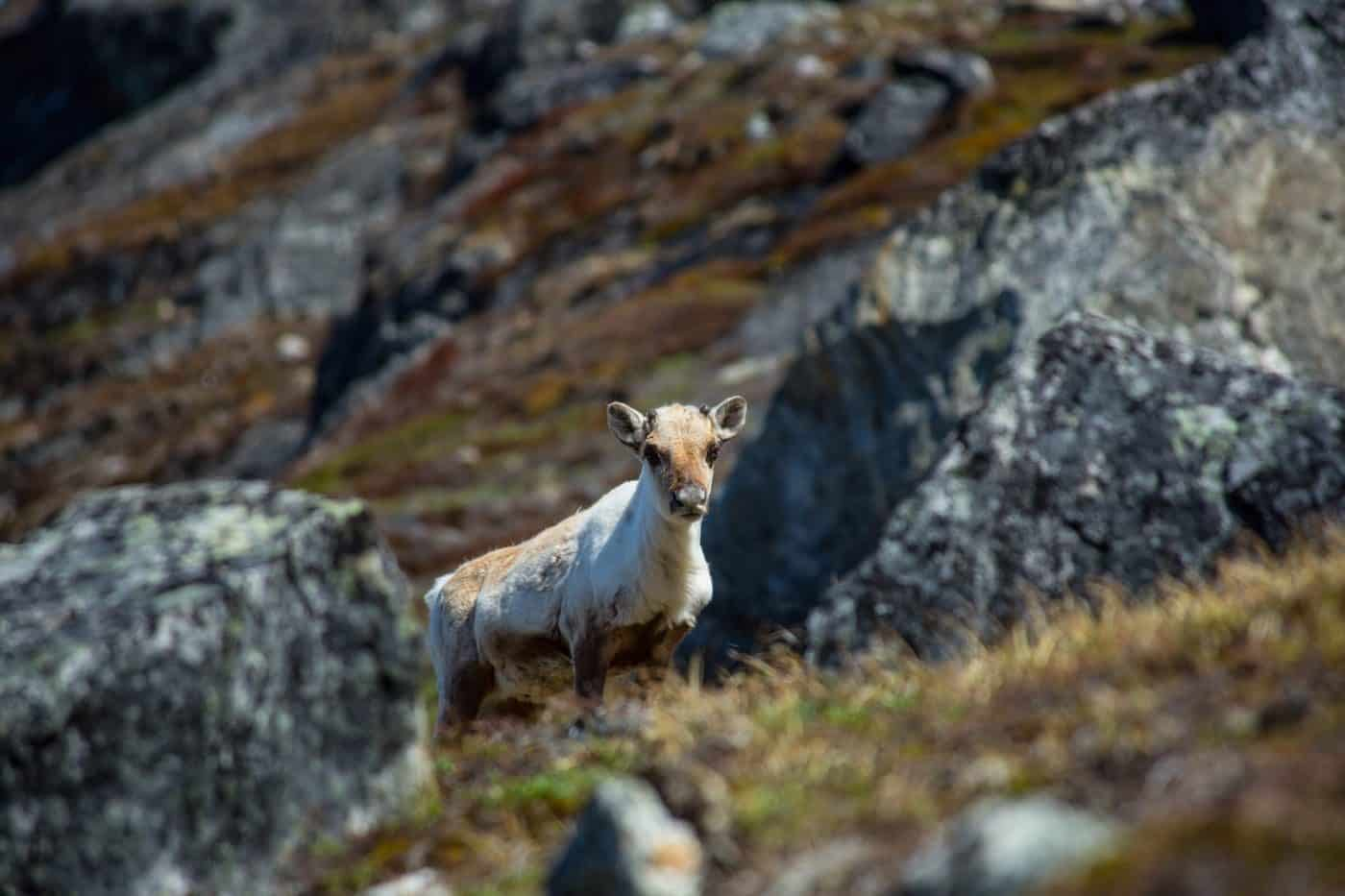 Summer reindeer in Greenland. Photo by Tikki Geisler