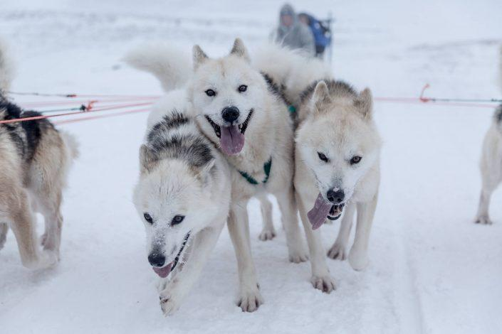 Three happy sled dogs from Ilulissat in Greenland. By Mads Pihl