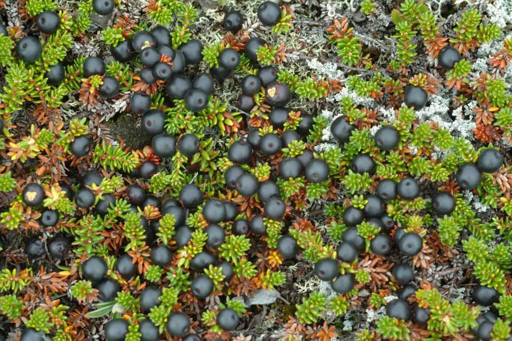 Sortebær vilde. By Visit Greenland
