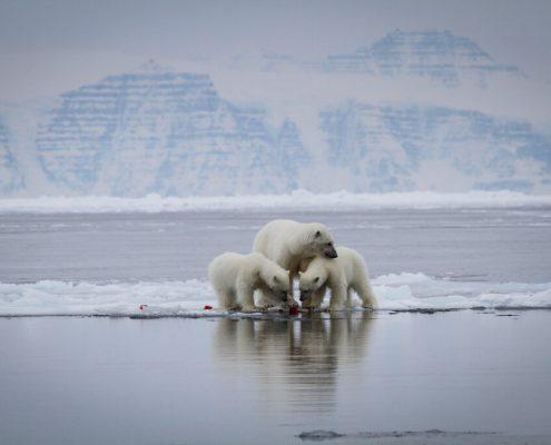 Three polar bears looking at something. By Martin Munck