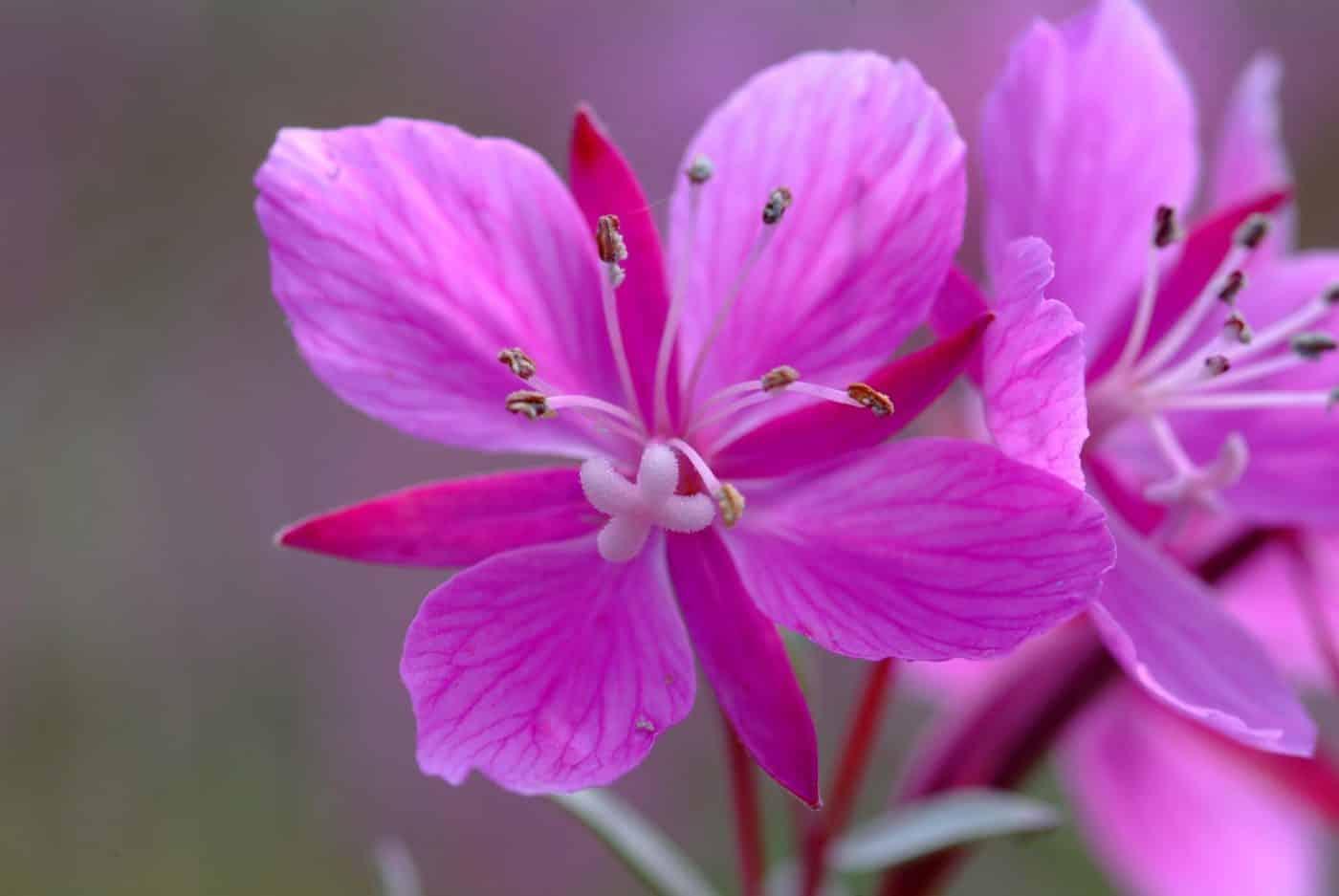 Flower Blomst. By Visit Greenland
