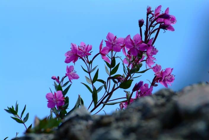 Blomster against a blue dark sky. By Visit Greenland