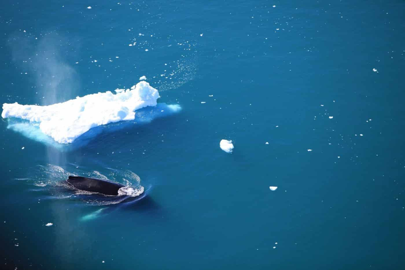 Whale near the iceberg. Photo by Anne Mette Christiansen