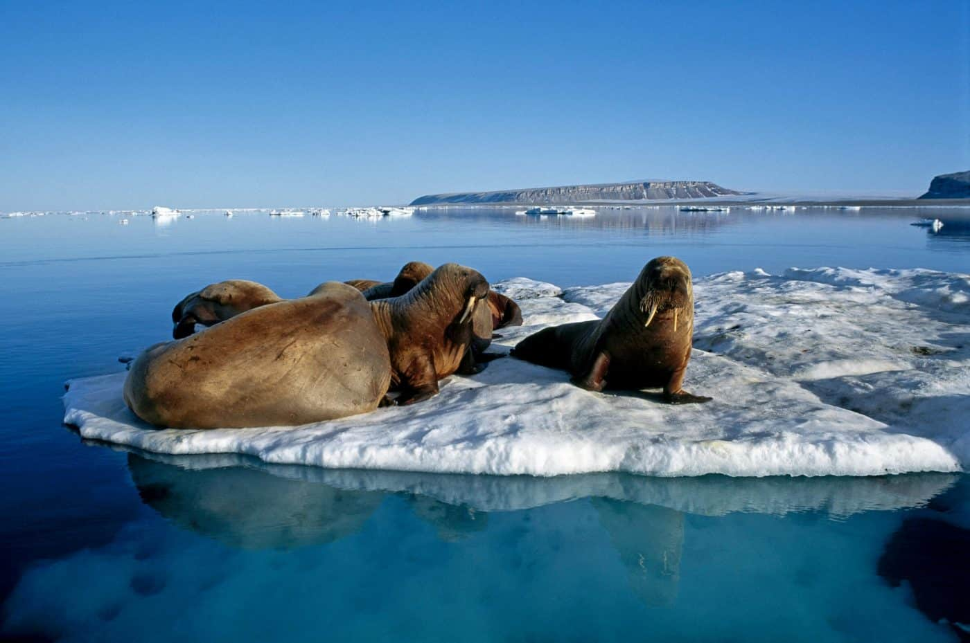 Walruses. Photo by Magnus Elander.