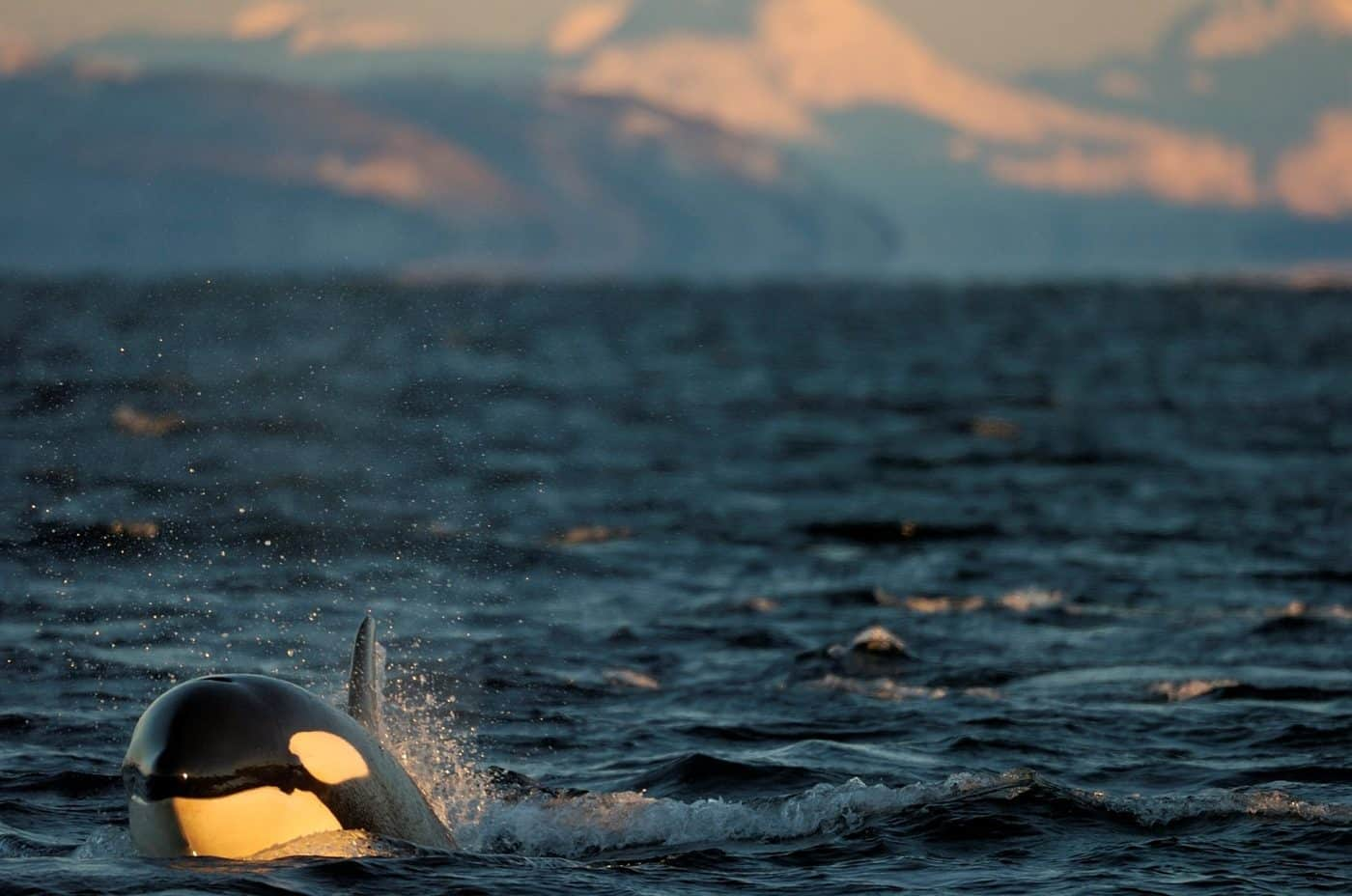 Killer whale. Photo by Magnus Elander.