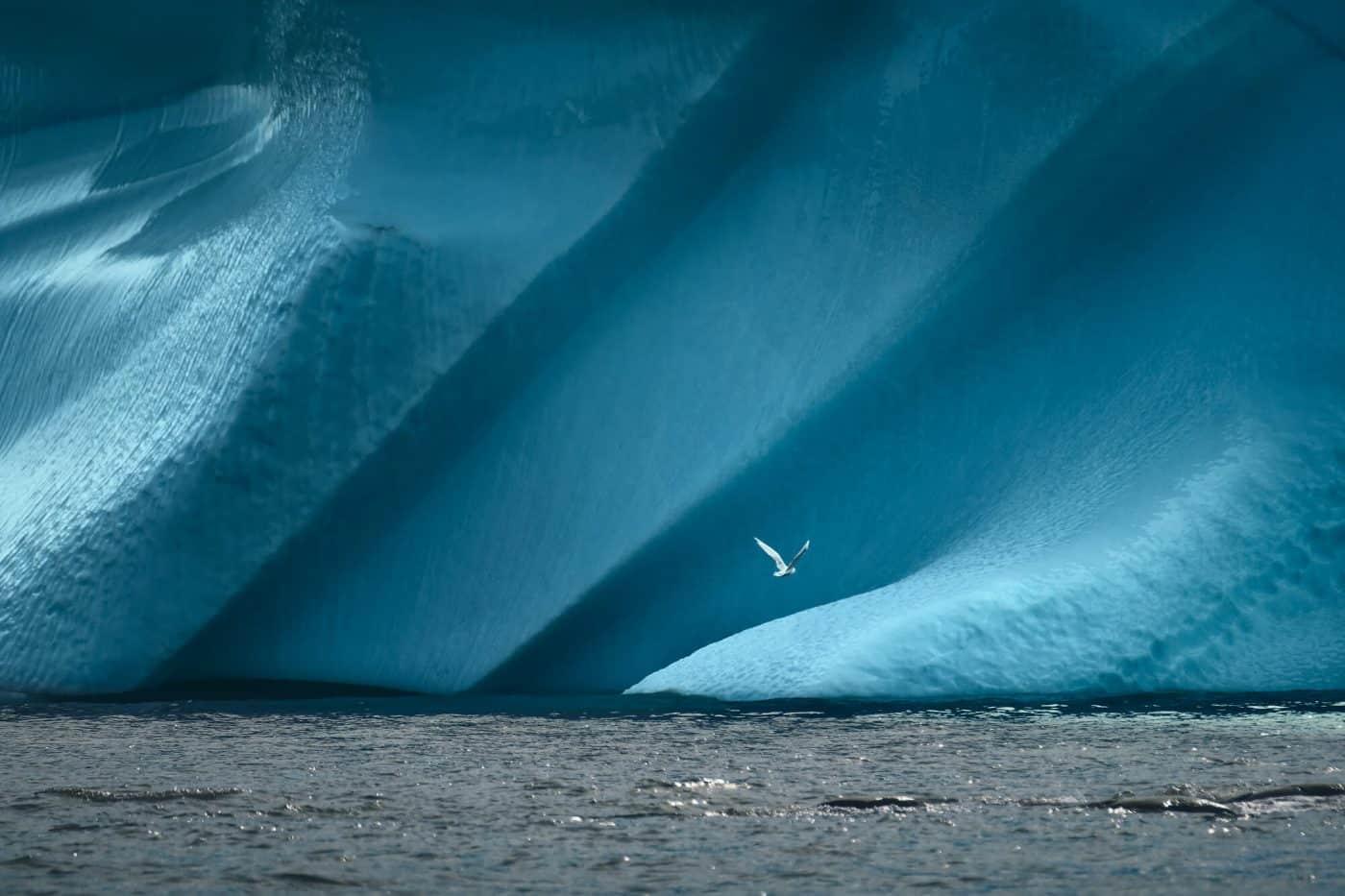 Greenland bird in front of iceberg. Photo by Maria Sahai.