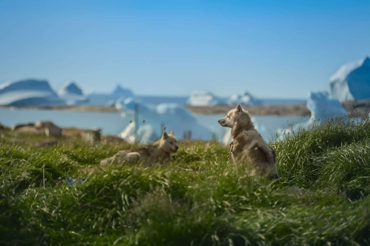 Greenland - Disko Island - Qeqertarsuaq - Greenland dog resting. Photo by Maria Sahai.