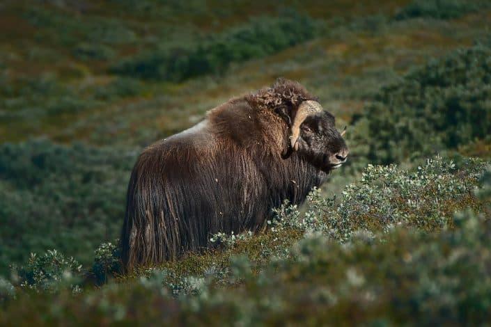 Kangerlussuaq wildlife - musk ox. Photo by Maria Sahai.