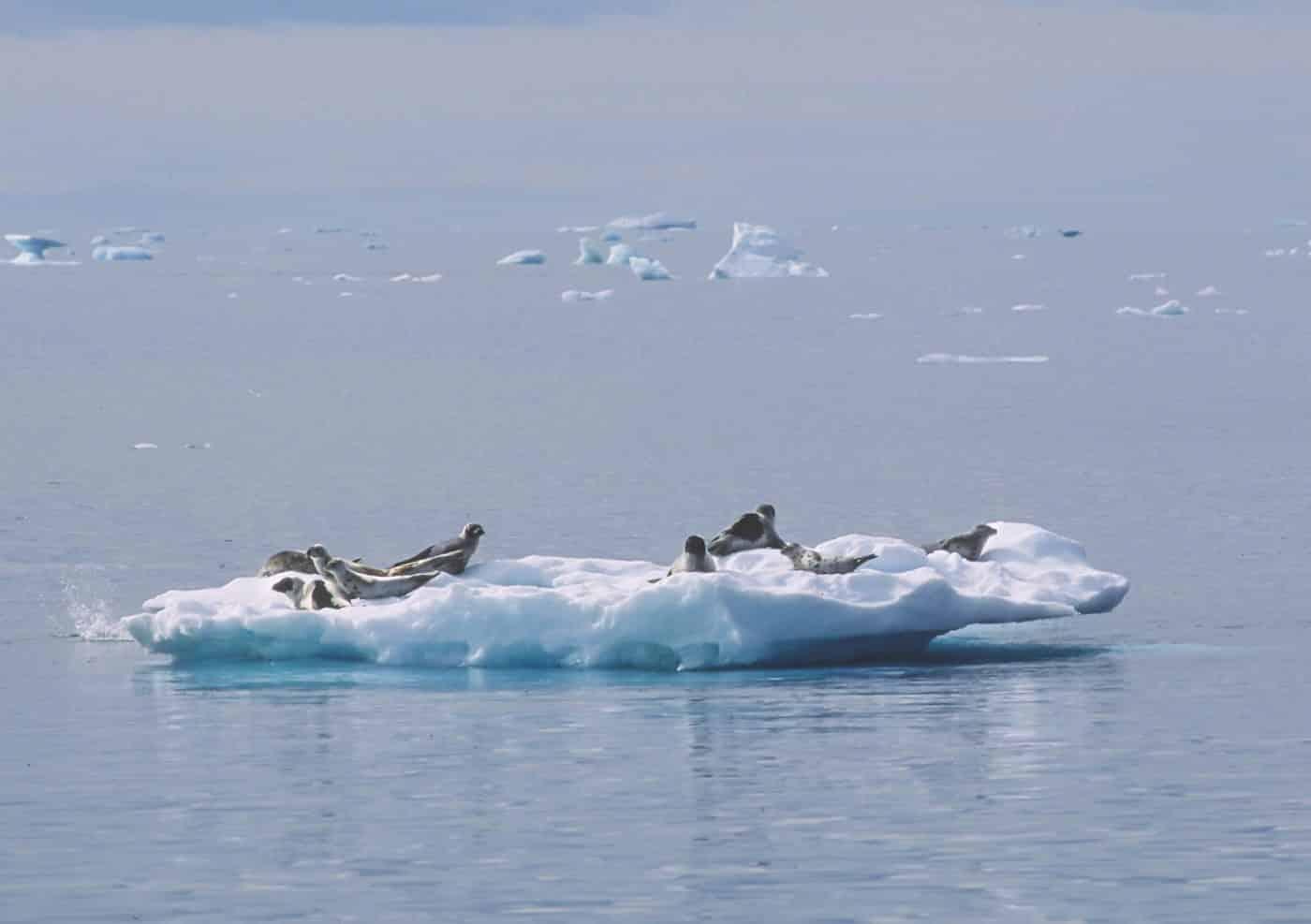 Harp Seal (grænlandssæl), by Aqqa Rosing-Asvid