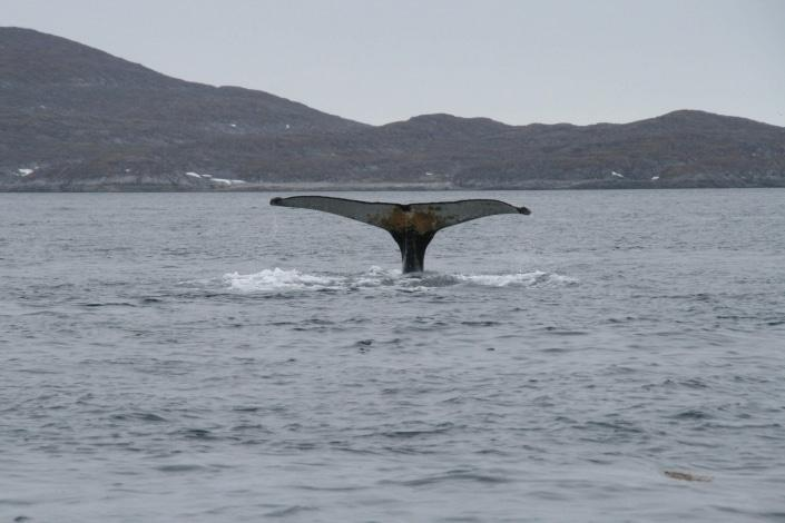 Whale tail around Nuuk in summer. Photo by Nuuk Bay Adventures