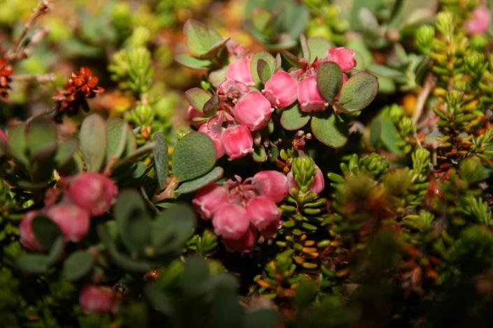 Pink flowers in summer. Photo by Nuuk Bay Adventures
