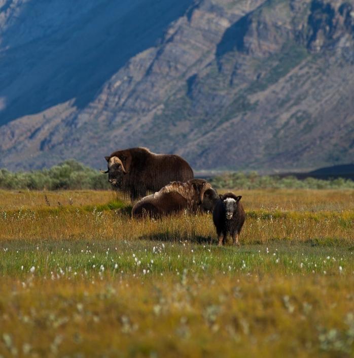 Musk oxen in Arctic tundra near Kangerlussuaq in Greenland. Photo by Dan Bach Kristensen - Visit Greenland