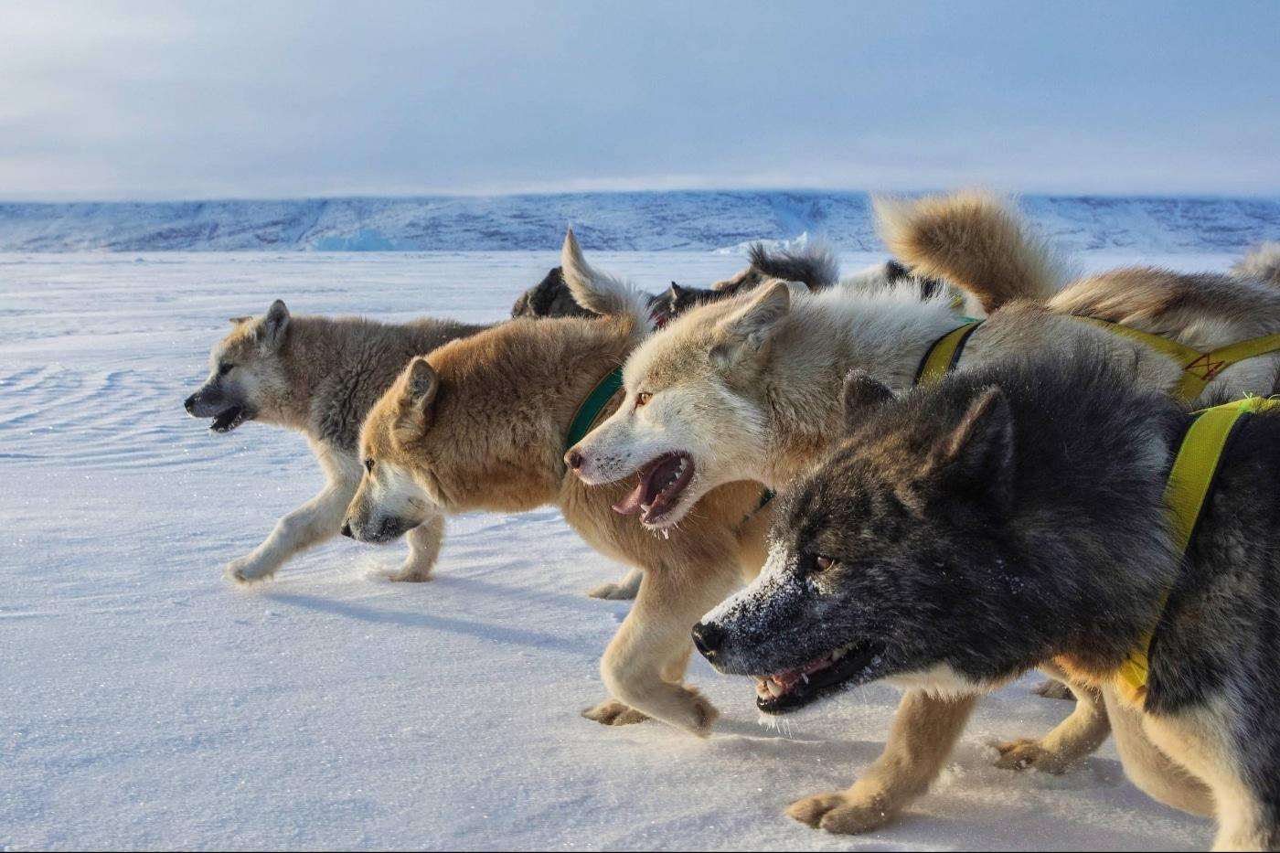 The front of the sled dog pack seen from the side. Photo by Trevor Traynor