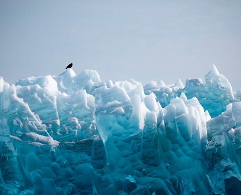 Raven sitting on the glacier, Qalerillat Sermiat, Narsaq, South Greenland. Photo by Peter Lindstrom - Visit Greenland