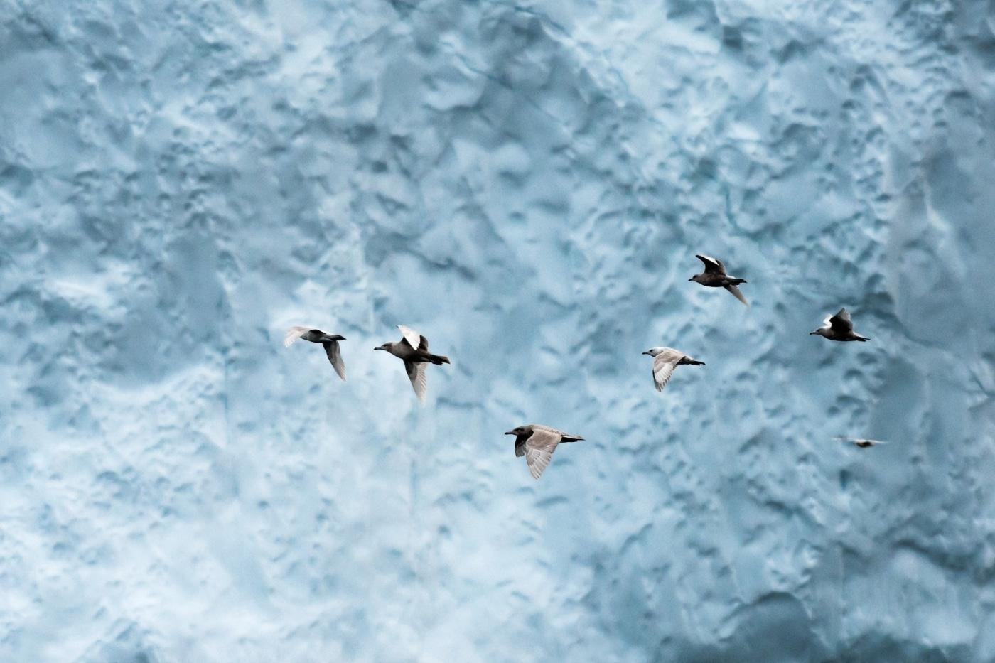 A flock of fulmar's took of as an iceberg close to them collapsed. I was amazed by the amount and variety of wildlife the Disko Bay has to offer. Photo by Stian Klo - Visit Greenland
