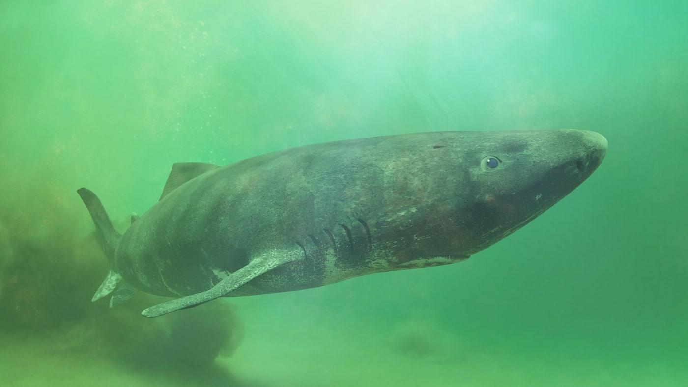 Greenland Shark near the ocean ground, Somniosus microcephalus - shark with the longest known lifespan of all vertebrate species. Photo by Dotted Yeti