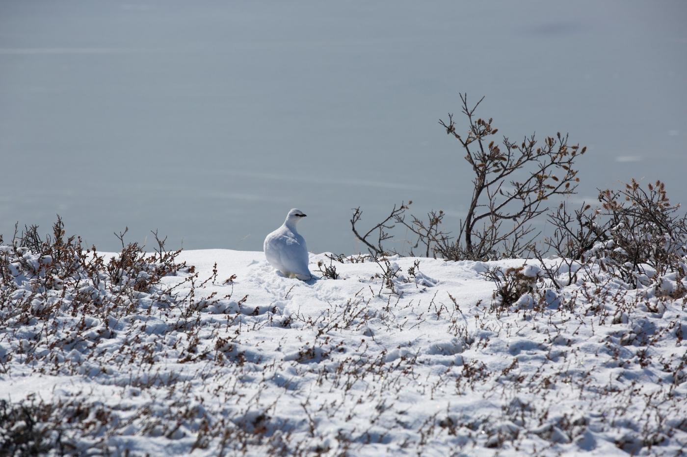 Ptarmigan blends in with the snow. Photo by Jenny Nichols - Visit Greenland