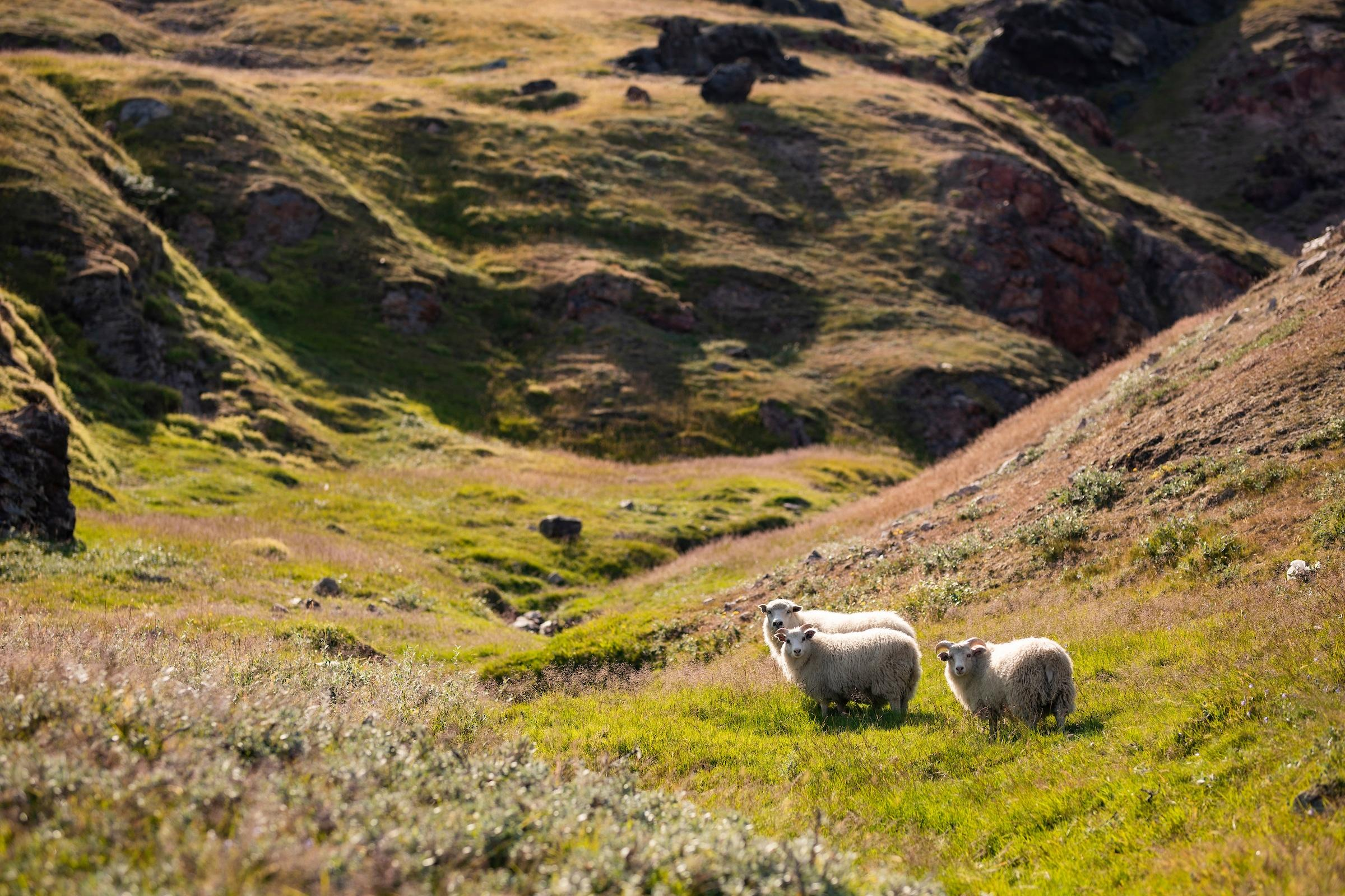 Sheeps in the nature in the South Greenland. Photo by Aningaaq R Carlsen - Visit Greenland