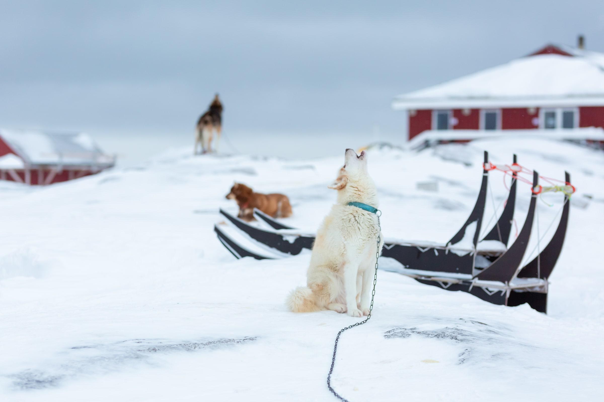 Howling Dog. Photo by Filip Gielda - Visit Greenland
