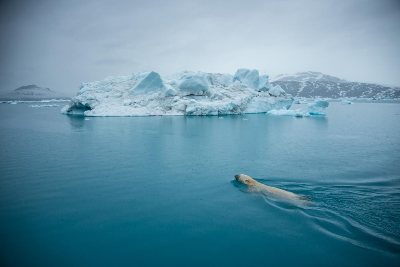 Polar bear swims in waters of Greenland. Photo by Andy Mann