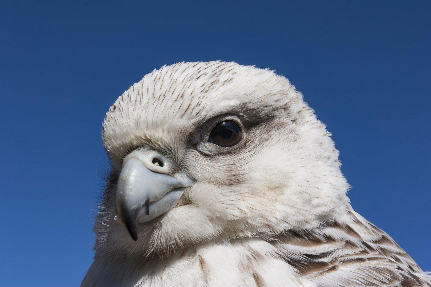 Gyrfalcon -EN, Kissaviarsuk -KAL, Jagtfalk -DA, Falco rusticolus -LAT. Photo by Carsten Egevang - Visit Greenland