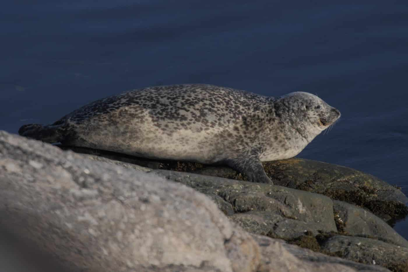 A harbor seal in Greenland, by Aqqa Rosing-Asvid
