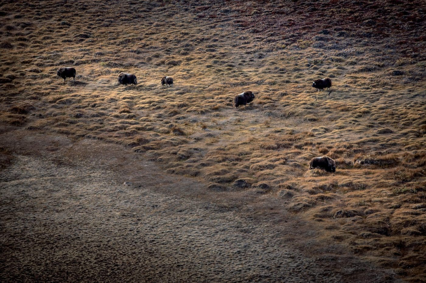 Aerial shot of musk oxen near Kangerlussuaq on an Air Zafari flight in Greenland. By Mads Pihl