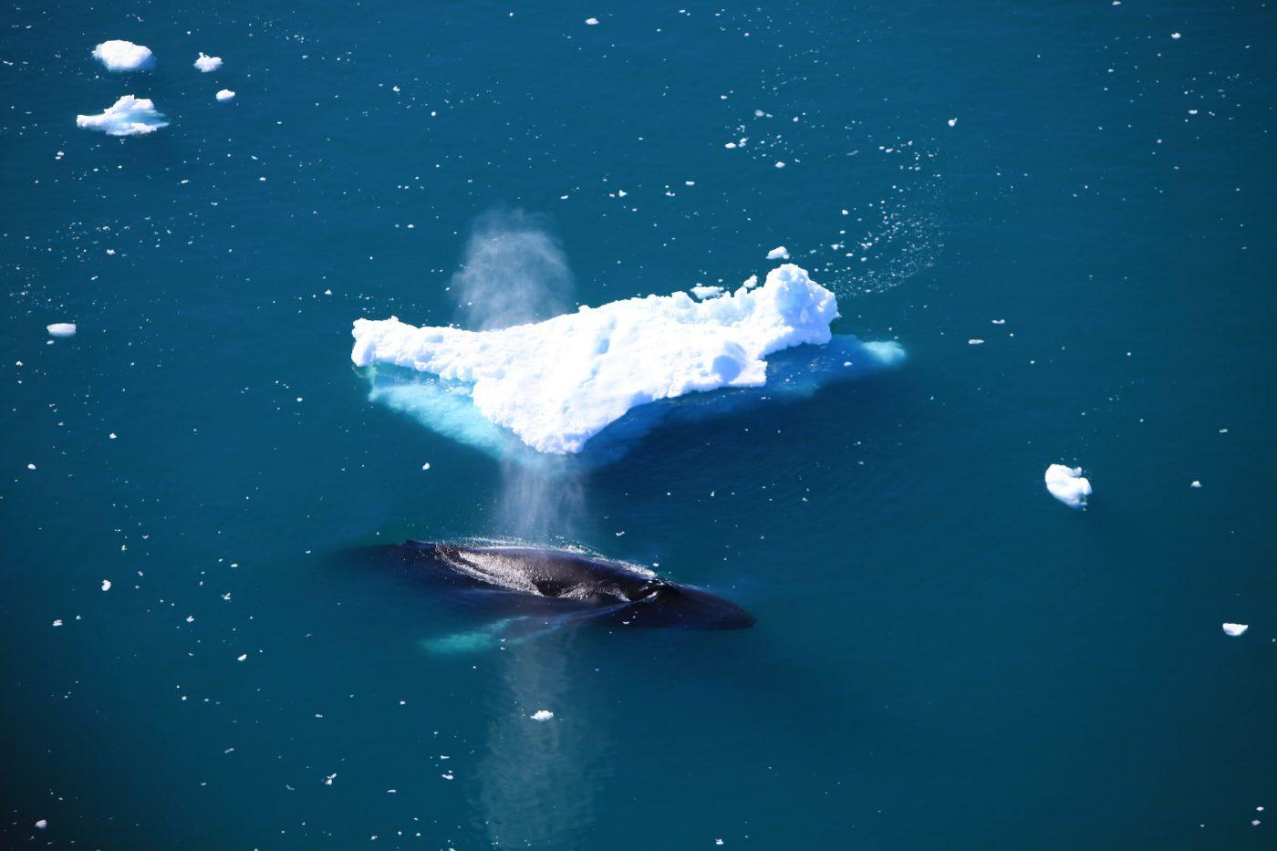 An aerial view of a humpback surfacing near Ilulissat in Greenland. By Anne Mette Christiansen, Visit Greenland