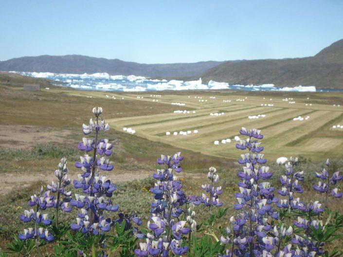 Flowers in front of grass fields in Narsaq, by Ella Groedem