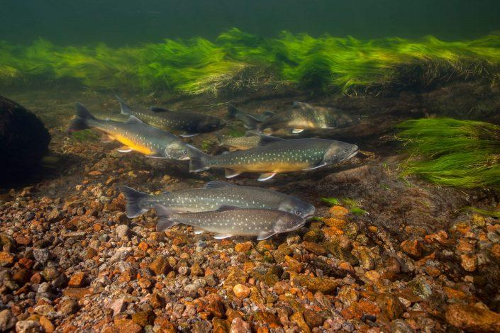 Arctic charr swimming in a river near Kangerlussuaq in Greenland. Photo by Dan Bach Kristensen