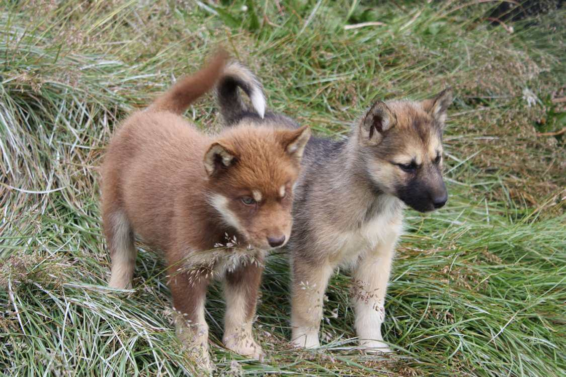 Two puppies in a field in Aasiaat. Photo by Hotel Aasiaat Seamen's Home