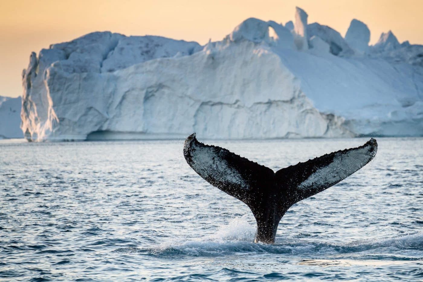 Humpback whale in front of big iceberg in Greenland, by Julie Skotte