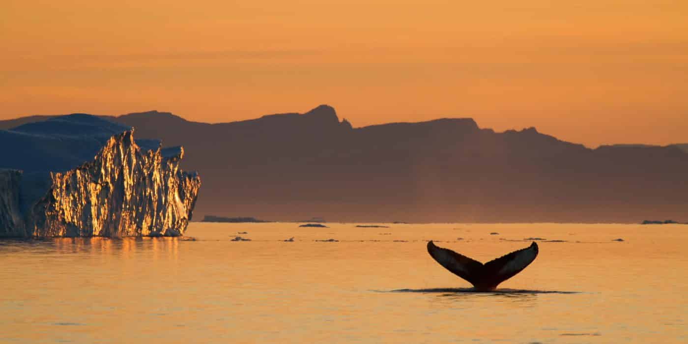 Humpback whale under the midnight sun, by Julie Skotte, Visit Greenland