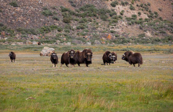 Musk oxen on the Arctic tundra in the Paradise Valley not far from Kangerlussuaq in Greenland. Photo by Dan Bach Kristensen