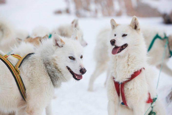 Sled dogs waiting for a departure