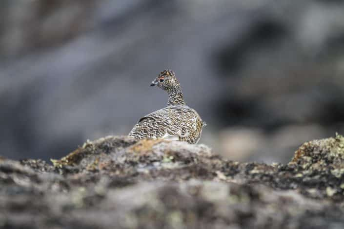 Ptarmigan among rocks. By Tikki Geisler