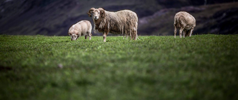 Sheep in a field near Igaliku in South Greenland. Photo by Mads Pihl