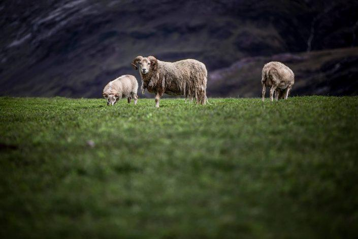 Sheep in a field near Igaliku in South Greenland. Photo by Mads Pihl