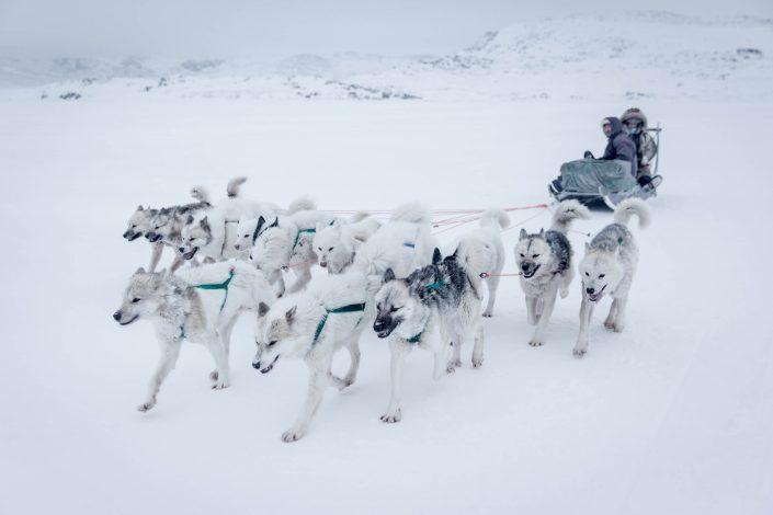 Sled dogs on sea ice near Oqaatsut in Greenland
