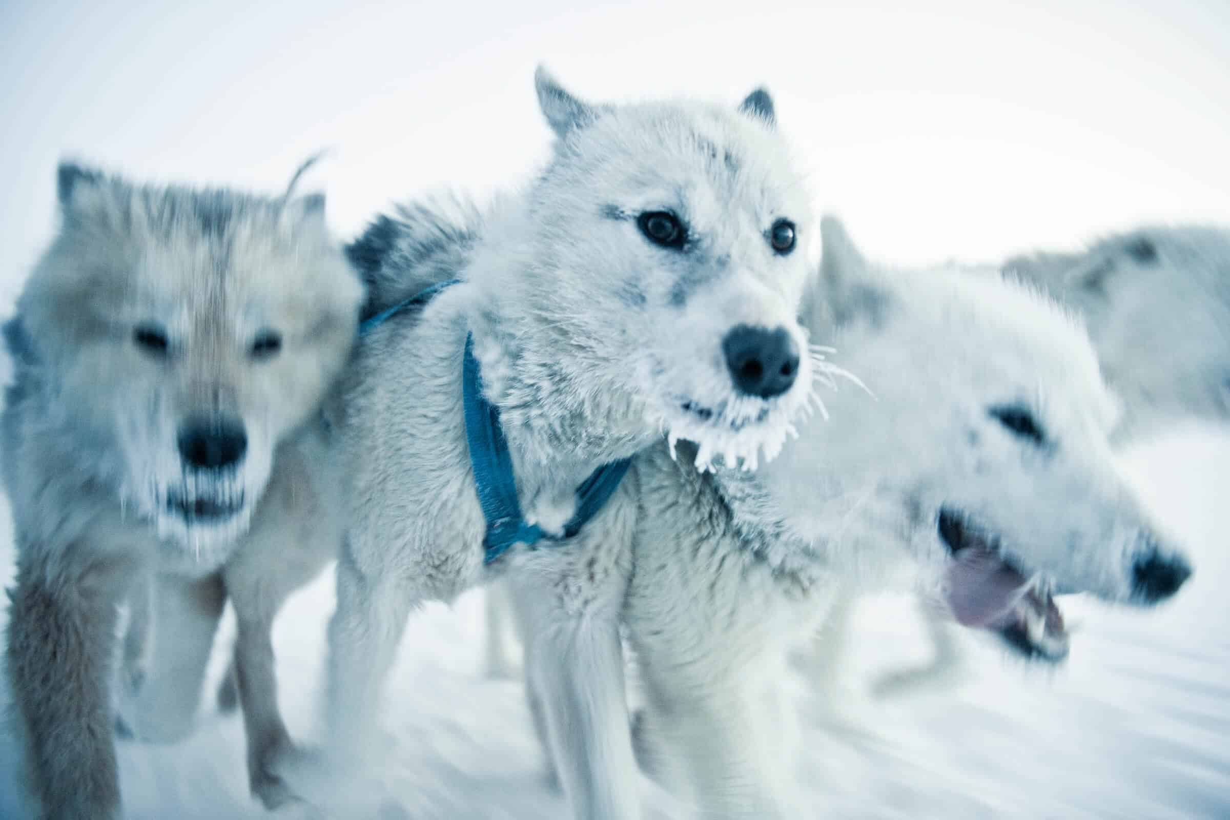 Three white sled dogs from Ilulissat in Greenland. By Andre Schoenherr
