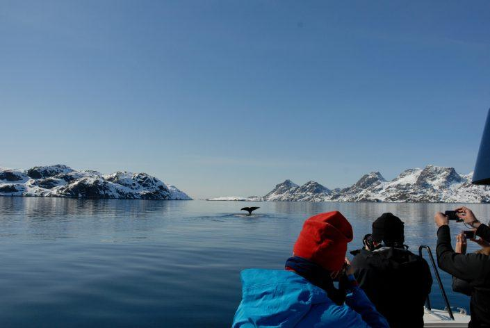 Whales at the Eternity Fjord Maniitsoq. Photo by Jörg Ehrligh